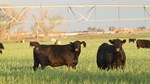 Teague black cattle